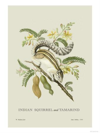 Indian Squirrel and Tamarind