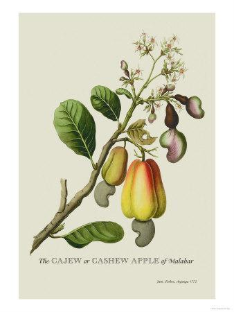 The Cashew Apple of Malabar