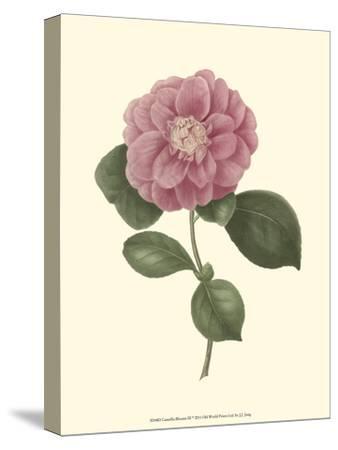 Camellia Blooms III