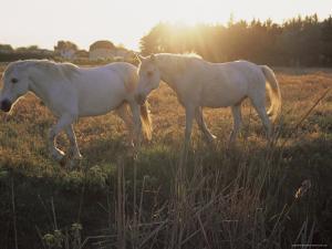 Camargue Horses, La Petite Camargue, in the Region of Aigues-Mortes, Languedoc-Roussillon, France by J P De Manne