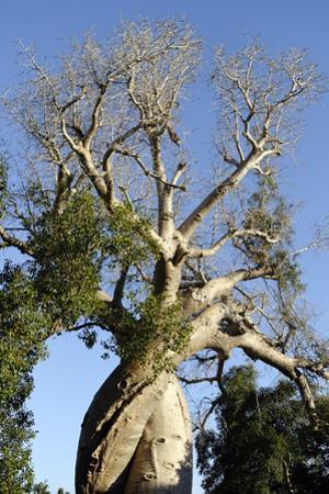 Spiral Trunk of Baobab Tree, Between Morondava and Belon'I Tsiribihina, Madagascar, Africa by J P De Manne