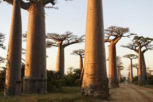 The Alley of the Baobabs (Avenue de Baobabs), Between Morondava and Belon'I Tsiribihina, Madagascar by J P De Manne