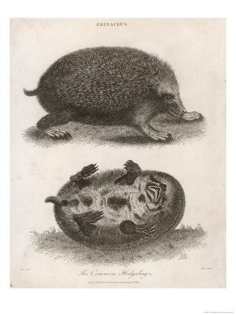 Common Hedgehog Seen from Two Different Angles