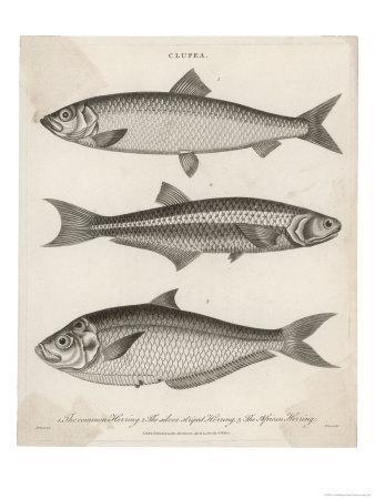 Three Types of Herring: 1. Common Herring 2. Silver-Striped Herring 3. African Herring