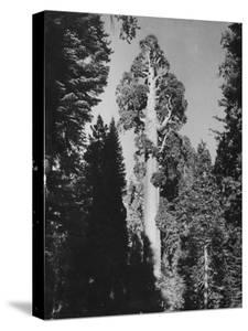 """""""Gen. Grant's"""" Sequoia Tree in King's Canyon National Park by J. R. Eyerman"""