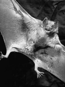 Rabid Male Vampire Bat by J. R. Eyerman