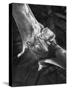 Vampire Bat Cleaning Itself by J. R. Eyerman