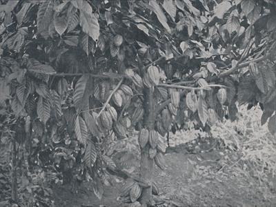 'Cacao Tree', 1924