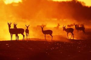 Springboks (Antidorcas Marsupialis) at Sunset, South Africa by J. Sneesby/B. Wilkins