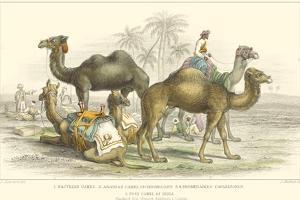 Arabian Camels by J. Stewart