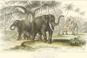 Asiatic Elephants by J. Stewart