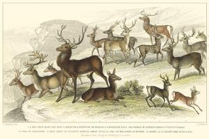 Deer Varieties by J. Stewart