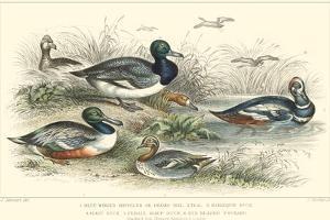 Duck Varieties by J. Stewart