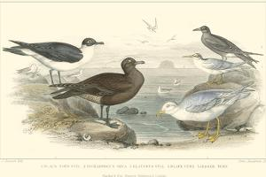 Gulls & Terns by J. Stewart