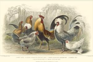 Roosters & Hens by J. Stewart