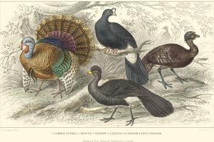 Turkey & Curassows by J. Stewart