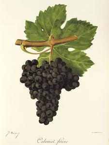Cabernet Franc Grape by J. Troncy
