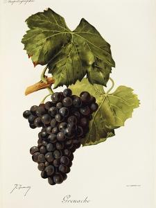Grenache Grape by J. Troncy