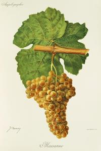 Marsanne Grape by J. Troncy