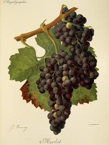 Merlot Grape by J. Troncy