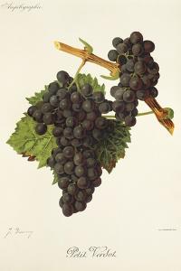 Petit Verdot Grape by J. Troncy