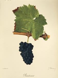 Pinot Noir Grape by J. Troncy