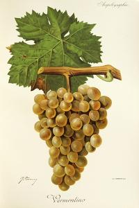 Vermentino Grape by J. Troncy