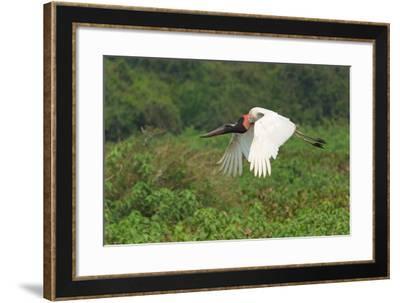 Jabiru (Jabiru Mycteria) in Flight, Pantanal, Mato Grosso, Brazil, South America-G&M Therin-Weise-Framed Photographic Print