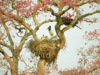 Jabiru Stork at Nest, Brazil-Richard Packwood-Photographic Print