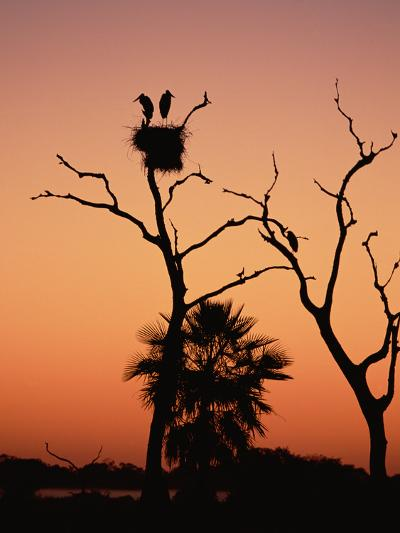 Jabiru Stork (Jabiru Mycteria) Couple at Nest, Sunset, Pantanal, Brazil-Konrad Wothe-Photographic Print