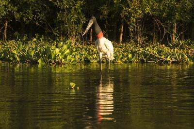 Jabiru Stork-Joe McDonald-Photographic Print