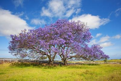 Jacaranda Trees in Bloom in the Up-Country on Maui-Ron Dahlquist-Photographic Print