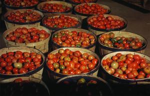 Puerto Rico: Tomatoes by Jack Delano