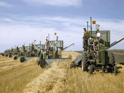 Men Drive Combines in Diagonal Line Through Golden Grain Fields