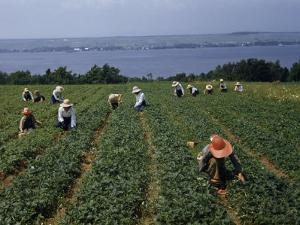 Pickers in Wide-Brimmed Hats Harvest Strawberries in a Field by Jack Fletcher