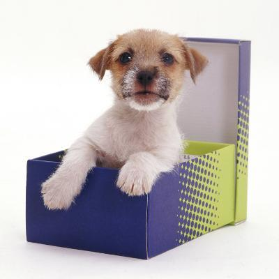 Jack in a Box - Jack Russell Terrier Pup in a Shoe Box-Jane Burton-Photographic Print