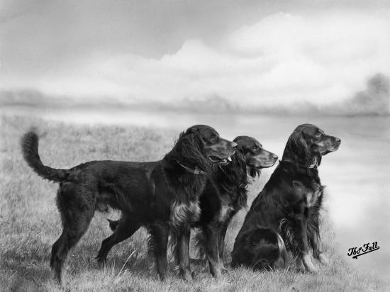 Jack Judy and Jill of Cromux Three Gordon Setters in a Field Owned by Eden-Thomas Fall-Photographic Print