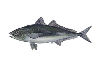https://imgc.artprintimages.com/img/print/jack-mackerel-trachurus-symmetricus-fishes_u-l-q135ia30.jpg?p=0