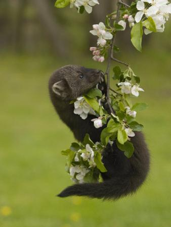 Fisher, Martes Pennanti, Juvenile Hanging from a Flowering Tree Branch, North America