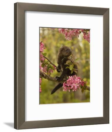 Fisher, Martes Pennanti, Juvenile in a Flowering Tree, North America