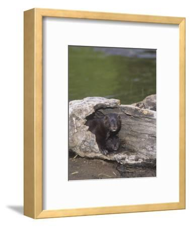 Mink and its Young in a Hollow Den Tree, Mustela Vision, North America
