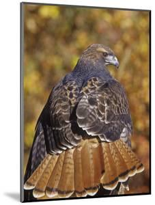 Red-Tailed Hawk, Buteo Jamaicensis, Perched While Hunting and Showing its Red Tail Feathers by Jack Michanowski