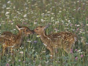 Two White-Tailed Deer Fawns in Wildflower Meadow, Odocoileus Virginianus, North America by Jack Michanowski