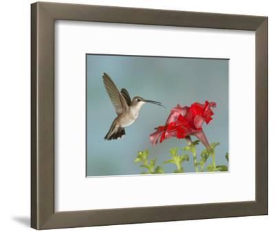 Black-Chinned Hummingbird (Archilochus Alexandri) Female Flying