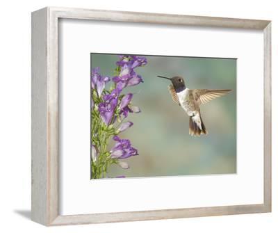 Black-Chinned Hummingbird (Archilochus Alexandri) Male Flying