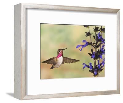 Calliope Hummingbird (Stellula Calliope) Male Flying at Salvia (Salvia Guaranitica)