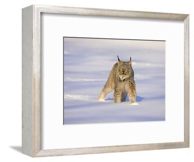 Eurasian Lynx (Lynx Lynx) Standing in the Snow