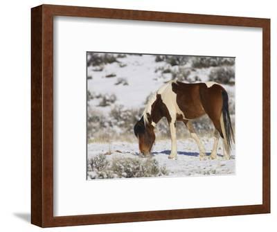 Feral Horse (Equus Ferus) at Mccullough Peaks Wildlife Management Area, Wyoming, USA