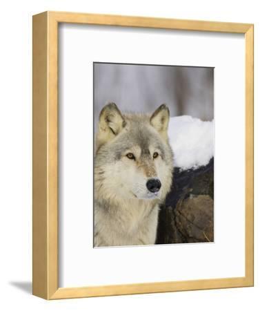 Gray Wolf (Canis Lupus), Northern Minnesota, USA