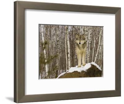 Gray Wolf (Canis Lupus) on Rocks, Northern Minnesota, USA